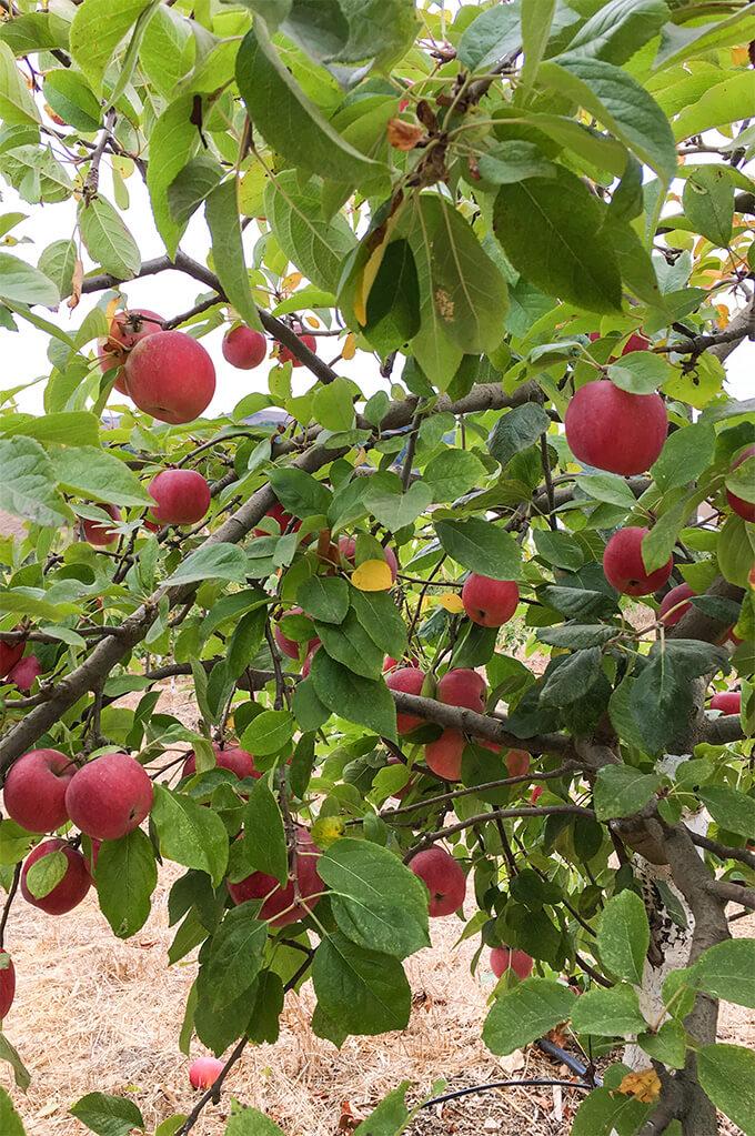 Apple picking at Chileno Valley Ranch, Petaluma | www.viktoriastable.com