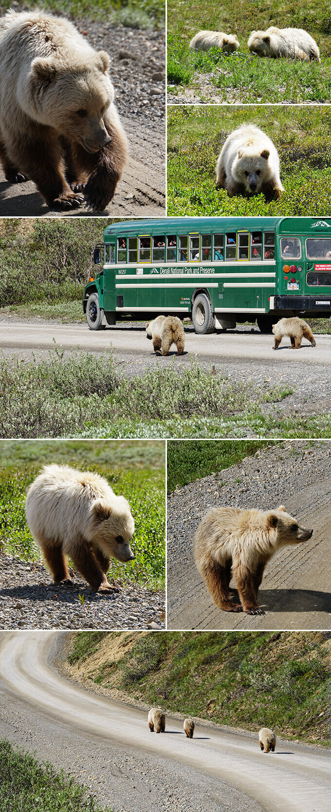 Into the wild Alaska - Grizzly bears at Denali National Park, Alaska | www.viktoriastable.com